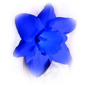 [picture: blue daffodil]